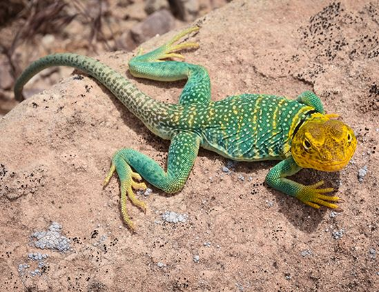 Western Collared Lizard looking up